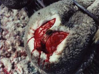 Footrot in Sheep: 1. Disease Facts | Footrot in sheep ...