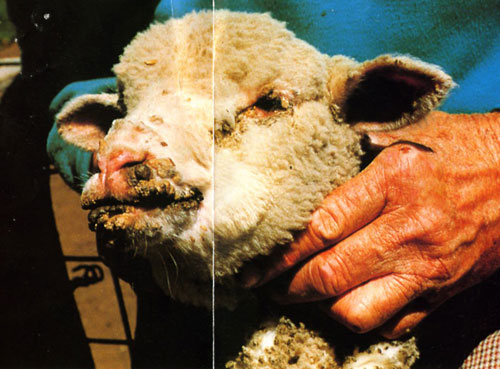 Lamb with Scabby Mouth disease